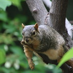 Squirrels on a Hot Day in Ann Arbor at the University of Michigan (July 6, 2016) thumbnail