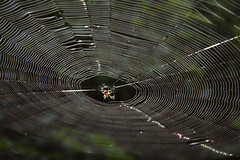 AS_000006460 (dickysingh) Tags: wild nature animal spider wildlife web silk orb predator noman orbweb dudhwanationalpark wwwranthambhorecom