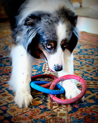 Now?  Now?  Now? (jayvan) Tags: dog toy play canine rings impatient cody aussie lomoish fujix100s