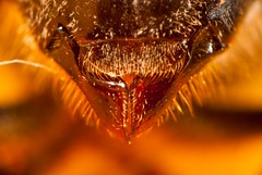 (Jorge Ibarra L.) Tags: macro field dof bee campo abeja depth diffraction 81 magnification profundidad difraccion magnificacion
