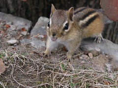 Petit suisse -- Little chipmunk (Gilles Gonthier) Tags: canada nature animal mammal rodent chipmunk qubec rodentia mammifre tamia tamiasstriatus sciuridae rongeur easternchipmunk petitsuisse canonpowershotg7 tamiaray gillesgonthier 052013 ggg7152332013
