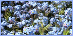 Misty Blue (Margaret Edge the bee girl) Tags: flowers blue garden spring mysotis flowercolors forgretmenots