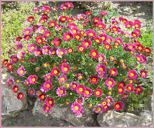 Red Daisy Rockery!