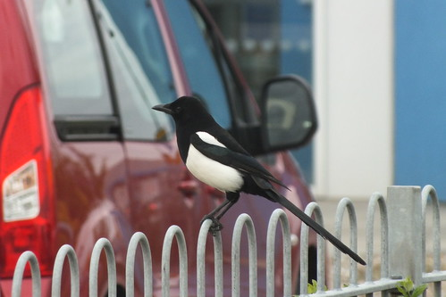 Magpie on railings