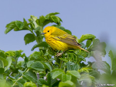 Yellow-Warbler-Rugosa1 (texmextele) Tags: county york sea nature pool birds rose yellow colorful wildlife maine rosa chuck warbler biddeford rugosa cutre warblers petechia setophaga homler