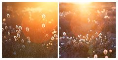 Cotton Grass at Sunset (Paul Newcombe) Tags: sunset summer orange sunlight flower june canon nationalpark glow dof bokeh derbyshire peakdistrict depthoffield lightleak telephoto lensflare flare l backlit shallow peaks 70200 f4 diffused goldenhour warmlight canon70200f4l srping cottongrass longlens canon7200f4