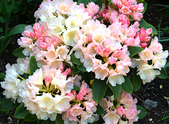 Rhododrendon Golden Torch 2 (Sussexshark) Tags: rhododendron ourgarden 2013 goldentorch forsky