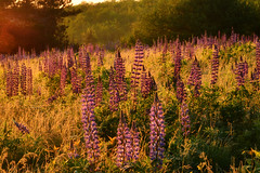 Lupines in Sunrise (KAM918) Tags: new morning light mist field weather festival fog sunrise golden nikon sampler hill nh hampshire sugar wildflowers lupine lupines d3100