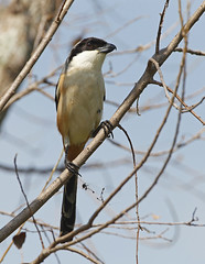 Long-tailed Shrike (Robert Horne Wildlife Photography) Tags: hongkong newterritories shrike laniusschach longtailedshrike