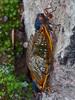 Periodical Cicadas mating (Dendroica cerulea) Tags: bug cicada insect newjersey spring nj mating arthropoda unioncounty 17yearcicada magicicada insecta echolakepark periodicalcicada hemiptera hexapoda auchenorrhyncha cicadidae magicicadaseptendecim cicadoidea broodii cicadettinae unioncountybioblitz unioncountybioblitz2013