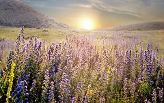 (viton_I) Tags: flowers sun nature spring crimea