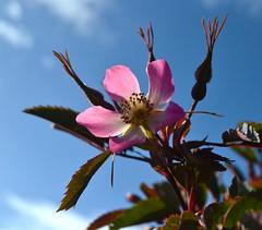 Rosa glauca syn. R. rubrifolia (AndyorDij) Tags: uk flowers gardens rutland empingham simplyflowers rosaglauca rosarubrifolia 2013