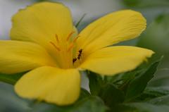 Naschen (deta k) Tags: flowers macro berlin germany deutschland flora ant natur pflanzen blumen insekten blten ameisen sooc nikond5100