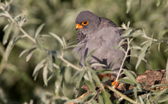 Red-footed Falcon [male - in the canopy]