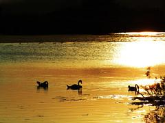 Silhouetted Swans (pete1074) Tags: sunset sun lake water sunshine birds silhouette reflections evening pond wildlife yorkshire naturereserve rspb fairburn fairburnings
