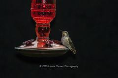 20130721-Hummers0053-53 (Laurie2123) Tags: backyard nikon hummingbird sb600 speedlight nikkor80400mm nikond300 nikonsb600 laurie2123 laurieturnerphotography