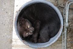 (Schuyler H. Miller) Tags: pet black animal cat fur mammal nose eyes feline gray whiskers