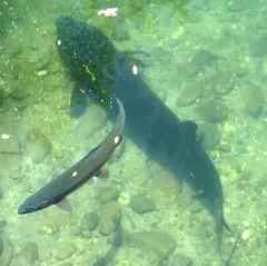 Cool fish (EcoSnake) Tags: fish water wildlife trout prehistoric sturgeon rainbowtrout naturecenter livingfossil idahofishandgame
