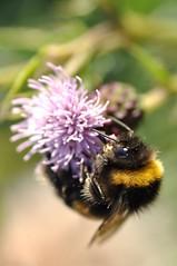 219/365 cool shades mr bee (werewegian) Tags: hairy macro eye photo bokeh thistle bee day219 aug13 hbw werewegian day219365 3652013 365the2013edition 07aug13