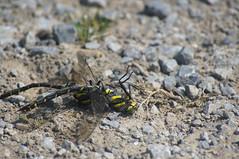 Dragon Flies mating