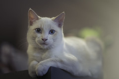 "My ""kitten"" of 5 months. Has the weight of a cat of 5 years. (eva_niencke) Tags: kitten 85mm whitecat f12"