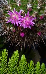 Neoporteria wagenknechtii cactus (nolehace) Tags: sanfrancisco summer cactus 813 wagenknechtii neoporteria nolehace fz35