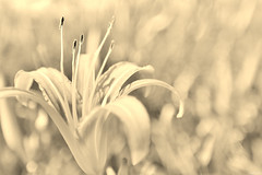 Silent (Singer ) Tags: sky bw flower monochrome canon lights iso100 shadows dof bokeh taiwan singer   simply hualien f28   elegance oneshot    hemerocallisfulva    orangedaylily 11600sec          canon6d    singer186  ca