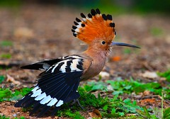Upupa Epops (Lior. L) Tags: bird birds animals canon israel telaviv species biology canondslr upupaepops biodiversity zo