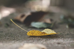 in yellow (idni . idniama) Tags: parque autumn fall leaves yellow nikon floor desenfoque gettyimages 2013 arrasdesuelo gettyimagesiberiaq3