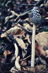 Veleno (Giulia Ciavarella) Tags: color mushrooms woods nikon strong funghi poison bosco nikond5000