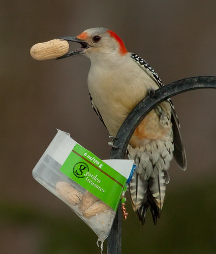 peanut woodpecker