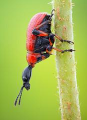 Hazel leaf roller – lateral stack (johnhallmen) Tags: macro insect naturallight coleoptera leafrollingweevil hazelleafroller attelabidae canonmpe65 canon5dmkii zerenestacker