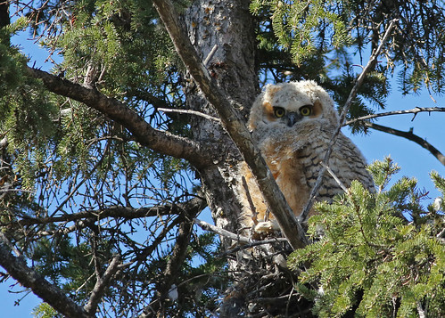 Great Horned Owlet... #33