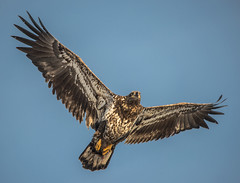 Eagle 6 (Jan Crites) Tags: winter bird river flying fishing nikon eagle zoom wildlife flight sigma iowa raptor mississippiriver soaring americanbaldeagle d600 leclaire lockanddam14 150500mm