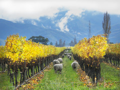Counting Sheep Marlborough (Simon__X) Tags: ocean california travel cruise flowers blue autumn trees sea vacation sky panorama sun mountain holiday seas