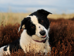 """3/52 ... """"I'm a nice dog and .."""" (JJFET) Tags: dog dogs for collie border bordercollie elk weeks 52 elkie"""