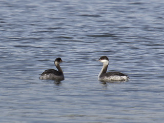 Eared Grebe (L) - Podiceps nigricollis & Horned Grebe (R) - Podiceps auritus