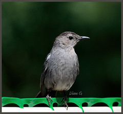 Catbird (Diane G. Zooms---Mostly Off) Tags: nature birds catbird naturephotography wildbirds greycatbird birdphotography theworldwelivein supershot