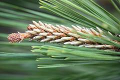 Pine Cone (III) (gtncats) Tags: macro nature closeup pine pinecones potofgold mygearandme photographyforrecreation