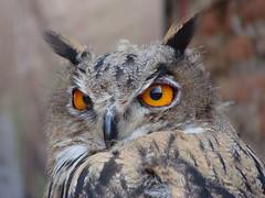 Gufo.- Owl (Felix_65) Tags: sony cybershot dsch3