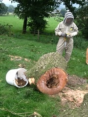 The Ash tree Bees