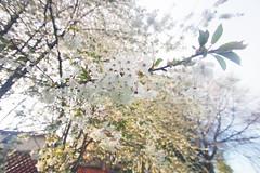 IMG_1184 () Tags: cherry spring  sakura  cerasus   someiyoshino