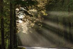 Rays of Light, Hoh Rainforest (rowjimmy76) Tags: trees light shadow plants usa