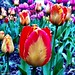 I like the multi-coloured ones. #spring #NorthVan #tulips