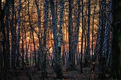 "spring, still for fernotte (Smo_Q) Tags: las cold forest season spring twilight europa europe poland polska polen birch polonia zachód wiosna brzozy zmierzch ""pentax"