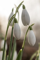 Snowdrop (gavmroberts1984) Tags: winter wild white cold flower woodland scotland woods edinburgh snowdrop dalmeny firthoftheforth