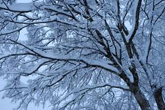 DSCF8567 (T Kato) Tags: winter white snow tree nature japan fujifilm gifu shirakawago shirakawa xt1 xf1855mmf284