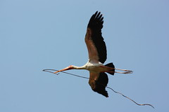 Stork Carries a Branch