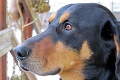 kutyaprofil / dog profile (debreczeniemoke) Tags: winter dog profile kutya profil eb tél frakk transylvanianhound copoiardelenesc erdélyikopó canonpowershotsx20is transylvanianbloodhound