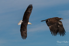 An adult and juvenile Bald Eagle circle the water